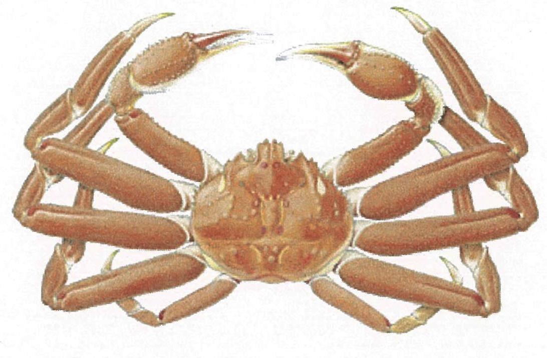 Alaskan quenn crab