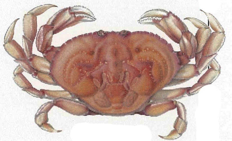Dungenese Crab